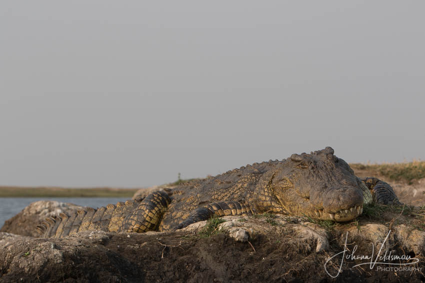 Conservation Hunting Trophy - Crocodile