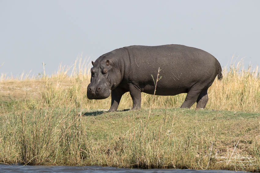 Conservation Hunting Trophy - Hippo