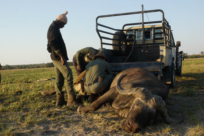 Conservation Hunting Trophy - Buffalo
